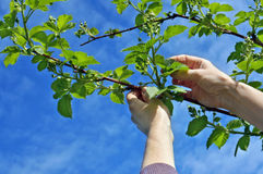 Hands  carefully caress gentle spring branches of garden blackbe Royalty Free Stock Image