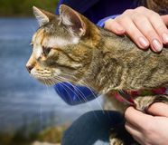Hands caress mongrel cat. Give cat in good hands, hands caress mongrel cat Royalty Free Stock Photos