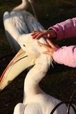 Hands caressing pelican. Small child hands caressing pelican bird in London. St. James park Royalty Free Stock Photography