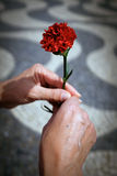 Hands and Carnation Royalty Free Stock Photo