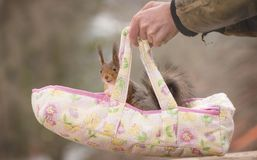 Hands carrying an Baby Carriage with red squirrel. Hands carrying a Baby Carriage with red squirrel stock photos