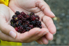 Hands carrying blackberries close-up. In yellow clothes Stock Image