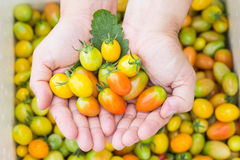 Hands carrying Tomatoes Stock Images
