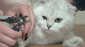 Hands with cat nail clippers. stock video