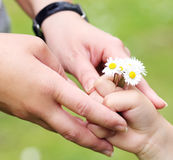 Hands and chamomile flowers Royalty Free Stock Image