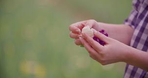 Hands Checking Purple Tulip Petals At Farm. Closeup of female farmer`s hands checking purple tulip petals at farm stock footage