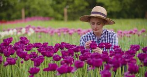 Hands Checking Purple Tulip Petals At Farm. Closeup of female farmer`s hands checking purple tulip petals at farm stock video footage