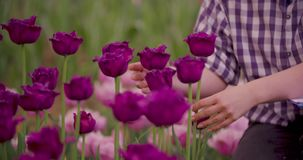 Hands Checking Purple Tulip Petals At Farm. Closeup of female farmer`s hands checking purple tulip petals at farm stock video