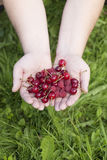 Hands with cherries and raspberries Royalty Free Stock Photos