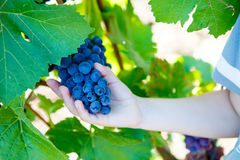 Hands of child with blue grapes ready to harvest Royalty Free Stock Photography