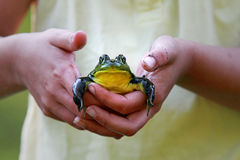 Hands of child with frog Royalty Free Stock Images