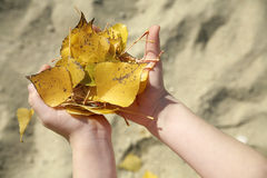 Hands of child with the leafs Stock Images