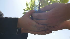 Hands of a child who took a plant from the hands of an elderly person stock video