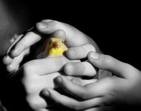 Hands of children. Holding a yellow canary Royalty Free Stock Image