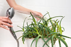 Hands cleaning dust off aloe plant Stock Photography