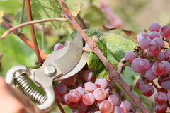 Hands with clippers and grape. Hands with clippers cut bunch of grape stock photography Royalty Free Stock Photo