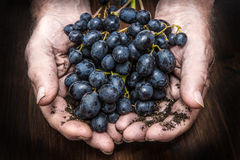 Hands with cluster of black grapes, farming Stock Photo