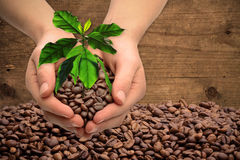 Hands with coffee tree and coffee beans Royalty Free Stock Photos