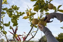 Hands collect fresh lemons from the tree. A person, with scissors in hand, picks lemons from the tree stock photo