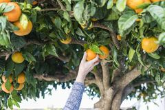 Hands collect fresh oranges. A person`s hand is picking ripe oranges from the tree stock image