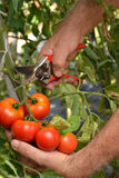 Hands collecting tomato crop Royalty Free Stock Photography