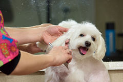 Hands with comb brushing dog. Dog grooming, maltese. Useful dog grooming tips Stock Photos