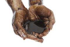 Hands cupped with black petroleum. Caucasian hands cupped with black petroleum cutout on white background stock image