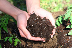 Hands Cupping Soil. Female's hands cupping soil surrounded by freshly planted tomato plants and grass Stock Photography