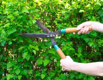 Hands are cut bush with clippers Stock Image