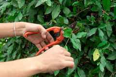 Hands are cut bush clippers Stock Image