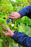 Hands cutting bunch of grapes. Hands with cutter cutting bunch of grapes Royalty Free Stock Photos