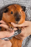 Hands cutting claws of guinea pig with nail clipper. Closeup of hands cutting claws of guinea pig with nail clipper royalty free stock photography