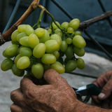 Hands cutting grape from the plant. Hands holding and cutting grape from the plant Royalty Free Stock Images