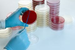 Hands doctor making a culture in a petri dish Stock Photography