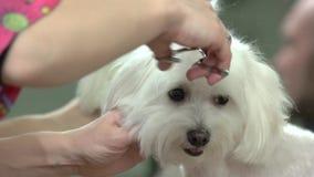 Hands of dog groomer, scissors. stock video footage
