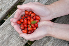Hands with dogrose berries Stock Images