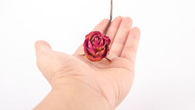 Hands with dried red rose on a white background. Female hand holding a dried red rose isolated on a white background Royalty Free Stock Photography