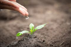 The hands are dripping water to the small seedlings, plant a tree, reduce global warming, World Environment Day.  royalty free stock images
