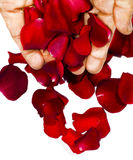 Hands dropping rose petals. For SPA client Stock Photos