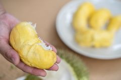 The hands are durian peels, durian yellow meat, eat very fresh. Handle durian show the yellow durian meat to eat. Tropical seasona. L fruit, king of fruit from royalty free stock images