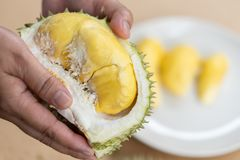 The hands are durian peels, durian yellow meat, eat very fresh. Handle durian show the yellow durian meat to eat. Tropical seasona. L fruit, king of fruit from royalty free stock photos