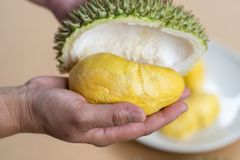 The hands are durian peels, durian yellow meat, eat very fresh. Handle durian show the yellow durian meat to eat. Tropical seasona. L fruit, king of fruit from royalty free stock photography