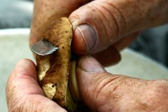 Hands of elder mushroom picker slicing summer cep hat. Hands of elder mushroom picker slicing summer cep (Boletus reticulatus) hat with small jagged stainless stock photography