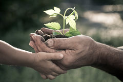 Hands of elderly man and baby holding a plant Royalty Free Stock Photos