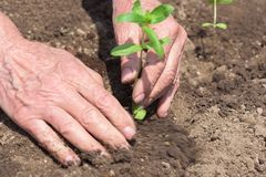 Hands of the elderly person. Hands of farmer growing plant. Hands of the elderly person. Protect nature royalty free stock photography