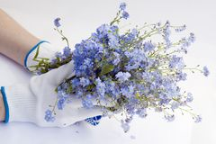 Hands of the farmer with a bunch of blue flowers Royalty Free Stock Photos