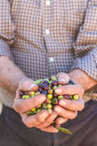 Hands of farmer with olives Royalty Free Stock Images