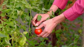Hands of a farmer ripping a ripe tomato from a bush in greenhouse. Close-up female hands collects ripe tomato in greenhouse. 4k uhd. Agriculture concept stock video