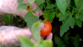 Hands of a farmer ripping a ripe tomato from a bush in greenhouse. Close-up female hands of a farmer ripping a ripe tomatos from a bush in greenhouse. 4k uhd stock video footage
