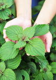 Hands feel coleus plants Stock Photography